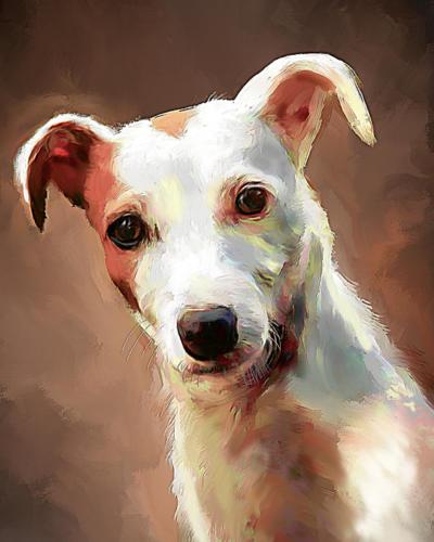 Jack Russel Terrier (kort)